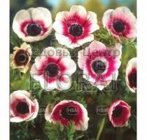 Анемоны Bicolor (5184)
