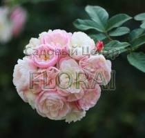 Роза парковая Bouquet Parfait