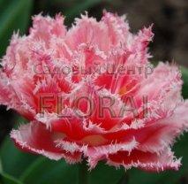 Тюльпан бахромчастый Crispion Sweet