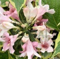 Вейгела цветущая (florida) Goldrush C2