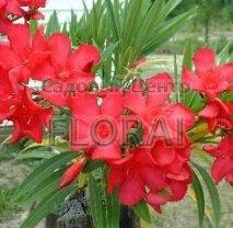Олеандр красный С130, обхват 20-25 см