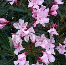Олеандр розовый Rosea. Высота 80-100см. С25