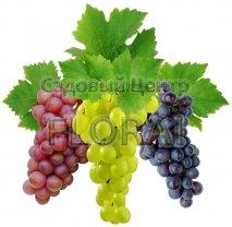 Виноград в сортах С2