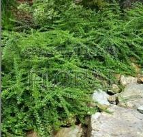 Жимолость шапочная Moss Green P15