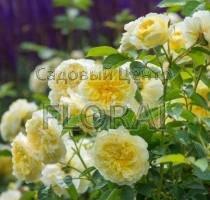 Роза кустовая английская The Pilgrim