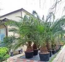 Пальма финиковая канарская. Высота 300+ см. C230