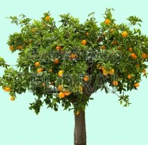 Апельсин sinensis Orange на среднем штамбе. Обхват ствола 40-50 см C250.  АКЦИЯ