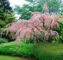 Тамарикс мелкоцветковый parviflora C3