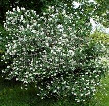 Чубушник (садовый жасмин) coronarius С2