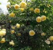 Роза плетистая английская The Pilgrim