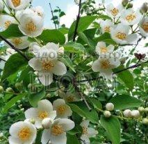 Чубушник (садовый жасмин) coronarius С10