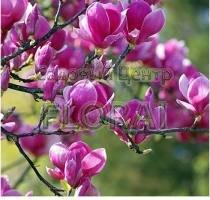 Магнолия гибридная Black Tulip. Высота 150-175см. C45