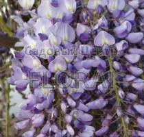 Глициния обильноцветущая / флорибунда Eranthema. Высота 160+ см, C3