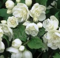 Чубушник (жасмин садовый) Virginal C3