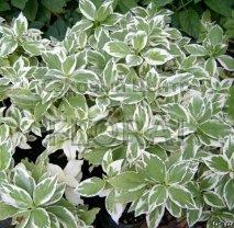 Гортензия крупнолистная (macrophylla) Tricolor С9