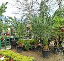 Пальма финиковая канарская. Высота 250-300см. С90