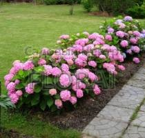 Гортензия macrophylla розовая С5