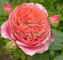 Роза шраб Chippendale С6
