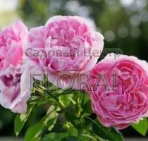 Роза шраб английская Mary Rose