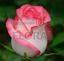 Роза  чайно-гибридная Jumilia