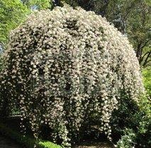 Роза banksiae белая. Высота 150-175 см, С5