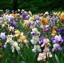 Ирис микс цветов  Р18