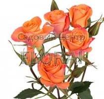 Роза спрей Orange Star