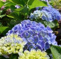 Гортензия крупнолистная (macrophylla) Bodensee С3
