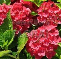Гортензия крупнолистная  красная  C18-25