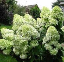 Гортензия метельчатая / paniculata LimeLite С2-3