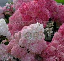 Гортензия Paniculata Pinky Winky C5