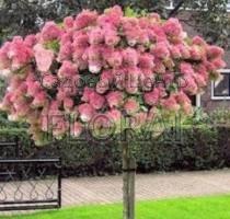 Гортензия Paniculata Pinky Winky  на штамбе 80 cм