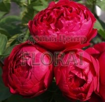 Роза Ascot на среднем штамбе
