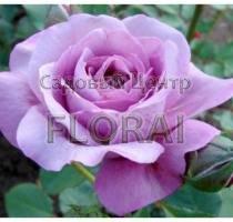Роза флорибунда Blue Wonder