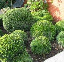 Самшит вечнозеленый (buxus sempervirens). Шар  30/35 см