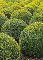 Самшит вечнозеленый Bаll  D 55/60 см