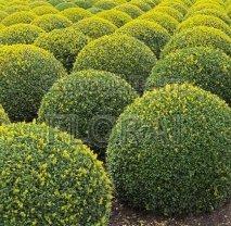 Самшит вечнозеленый (sempervirens). Шар 40 см