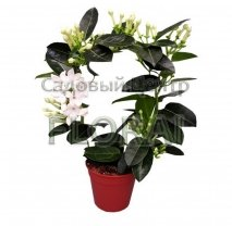 Стефанотис Fleur Parfum 45 см Р12
