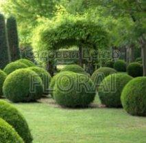 Самшит вечнозеленый (buxus sempervirens). Шар 30/40 см. АКЦИЯ