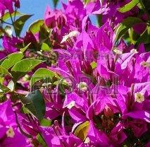 Бугенвиллея Glabra Sanderiana. Высота 150/175 см