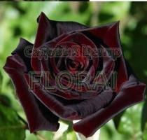 Роза патио Black Beuty