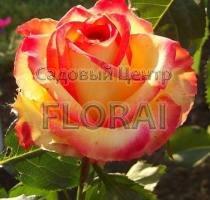 Роза патио Latin Ambiance
