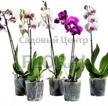 Фаленопсис 1 цветонос 65 см/Р12