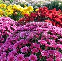 Хризантема садовая.