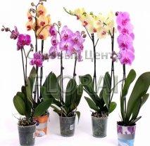 Фаленопсис 2 цветоноса. Высота 65-70 см Р12