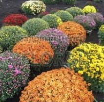 Хризантема садовая, микс цветов. D65, контейнер Р17
