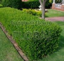 Самшит вечнозеленый 60 см ОКС