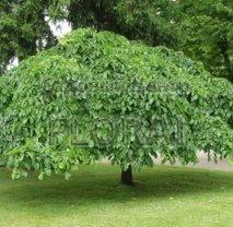 Вяз шершавый плакучий (glabra Pendula). Обхват ствола 10-12 см.