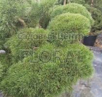 Сосна mugo Mugnus Bonsai. Высота 125+см, Диаметр 100-125см