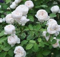 Роза кустовая  английская Glamis Castle